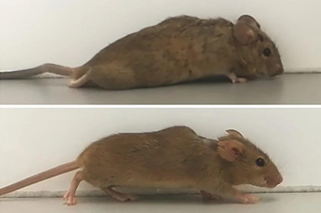 Innowacyjna cytokina pozwoliła chodzić sparaliżowanej myszy hIL-6