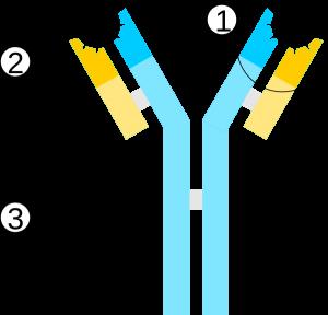 schemat przeciwciała neutralizujące