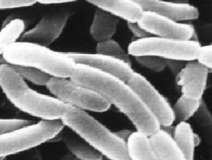 Halobacillus