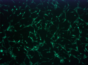 NIH3T3 GFP Cell Line