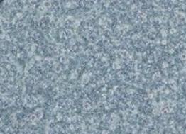 Platinum-E Retroviral Packaging Cell Line, Ecotropic